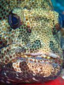 Marble Grouper — Stock Photo