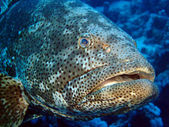 Potato grouper — Stock Photo