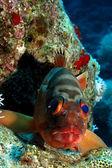 Blacktip grouper — Stock Photo