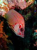 Longjawed squirrelfish — Foto de Stock