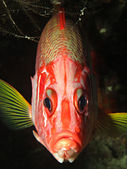 Longjawed squirrelfish — Stock Photo