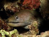 Undulated moray — Stock fotografie