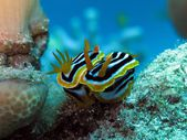 Pyjama chromodoris — Stock Photo
