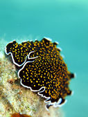 Gold dotted flatworm — Stock Photo