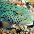 Speckled sandperch — Stock Photo