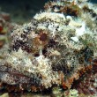 Bearded scorpionfish — Stockfoto
