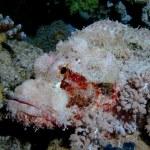 Bearded scorpionfish — Stock Photo #27153617