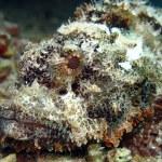 Bearded scorpionfish — Stock Photo #27153691