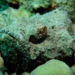 Bearded scorpionfish — Stock Photo #27154215