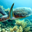 Green sea turtle — Stock Photo #27155705