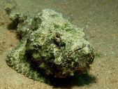 Green devil scorpionfish — Stock Photo