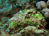Stonefish — Stock Photo