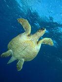 Hawksbill turtle — Stock Photo