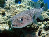 Porcupinefish — Stock Photo