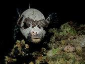 Masked puffer — Stock Photo