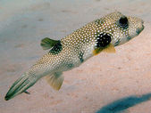 Whitespotted puffer — Stock Photo