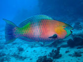 Rusty parrotfish (Scarus ferrugineus) — Stock Photo
