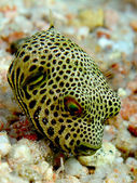Baby Starry Puffer — Stock Photo