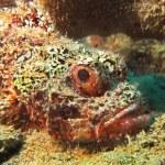 Bearded scorpionfish — Stock Photo #27255155