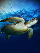 Green sea turtle. (Chelonia mydas) — Stock Photo