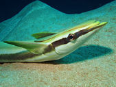Sharksucker (Echeneis naucrates) — Stock Photo