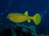 Bluetail Trunkfish — Stock Photo