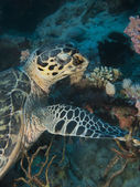 Hawksbill turtle — Stock Photo