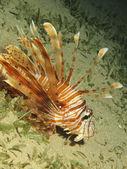 Common lionfish — Stock Photo
