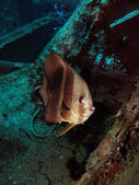 One Longfin batfish (Platax teira) on the shipwreck of the SS Thistlegorm — Stock Photo