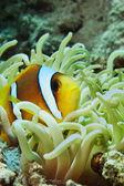 красное море anemonefish — Стоковое фото