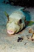 мозамбикская скалозуба — Стоковое фото
