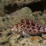 Pixie hawkfish (cirrhitichthys oxycephalus) — Stock Photo #48559341