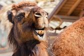 Arabian camel or Dromedary — Stock Photo
