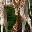 Young giraffe with funny expression — Stock Photo