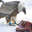 Stock Photo: Vulture eating