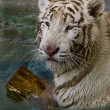 White tiger — Stock Photo #19700769