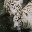 White tiger — Stock Photo #19700839