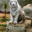 White tiger — Stock Photo #19700957