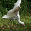 Stock Photo: Africspoonbill