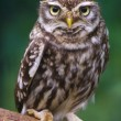 burrowing owl — Stock Photo