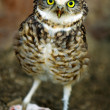 Stock Photo: Burrowing owl