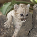 Постер, плакат: Puma cub