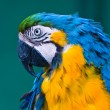 Blue macaw parrot — Stock Photo