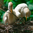 Egrets nesting — Stock Photo #19702413