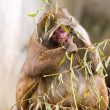 Snow monkey eating plant — Stock Photo