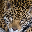 Stock Photo: Big jaguar cat