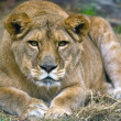 Big female lion resting — Stock Photo