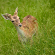 Young deer in the grass — Foto de Stock