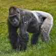 Silverback gorilla — Stock Photo #19704527