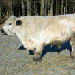 Galloway cattle — Lizenzfreies Foto